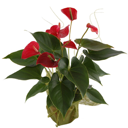 Kwiat doniczkowy Anturium